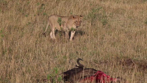 Lioness approaches killed wildebeest Footage