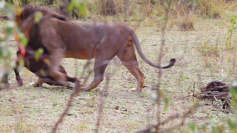 Lion drags its prey Footage