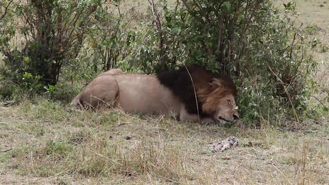 Lion sleeps in the shade of a tree Footage