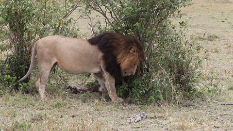 Lion in Africa. Leo throws ground leftovers Live Action