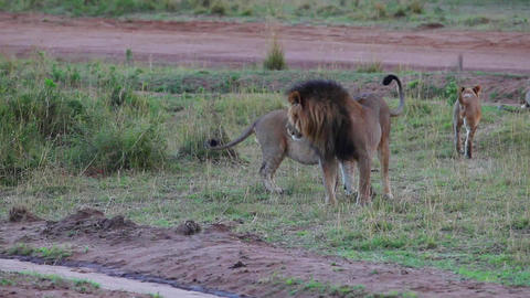 Leo and his pride. Lion examines the territory of Footage