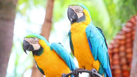 group of shouting aggressive colorful parrot macaw Footage
