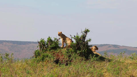 Two lionesses sitting on the hill. They inspect th Footage