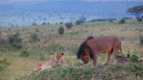 Checks marked territory. Lion sniffing the grass Footage