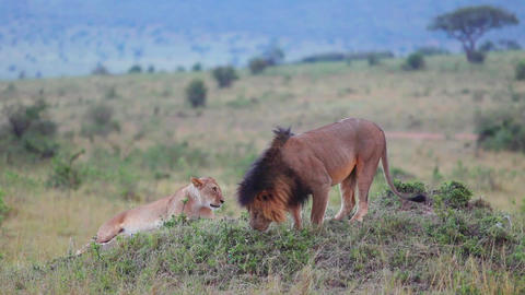 Lion sniffing the grass. Checks marked territory Footage