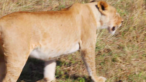 Lioness moves away from the camera. Savannah Footage