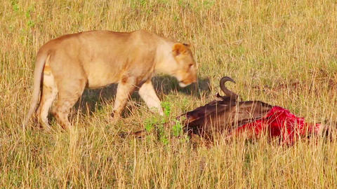 Lioness wounded while hunting in the left hind leg Footage