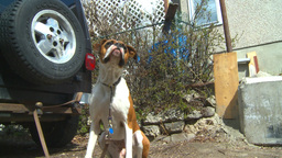 HD2009-5-2-24 boxer dog Stock Video Footage