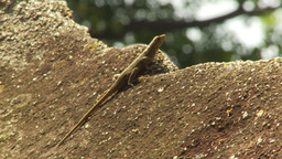 HD2009-11-5-25 gecko Stock Video Footage