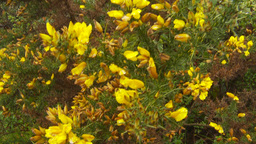 HD2009-11-11-5 yellow flower tree Stock Video Footage