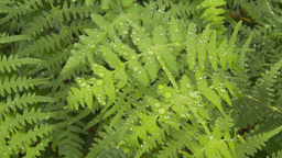 HD2009-11-11-7 rainforest CU ferns Stock Video Footage