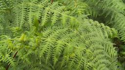 HD2009-11-11-7 rainforest CU ferns Stock Video Footage