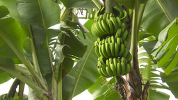 HD2009-11-11-19 Costa rican banana plantation Footage