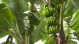 HD2009-11-11-19 Costa rican banana plantation Stock Video Footage