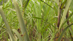 HD2009-11-12-25 sugar cane filed Stock Video Footage