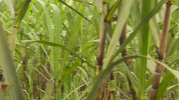 HD2009-11-12-25 sugar cane filed Footage