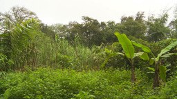 HD2009-11-12-27 sugar cane field and jungle Stock Video Footage