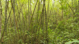 HD2009-11-12-45 bamboo forest Stock Video Footage