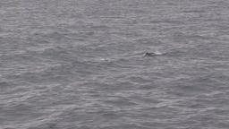 HD2009-11-14-13 porpose at sea Footage