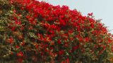 HD2009-11-18-20 Red Bush stock footage
