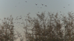 HD2009-9-31-13 ducks in flight Stock Video Footage