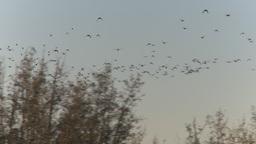 HD2009-9-31-13 ducks in flight Stock Video Footage