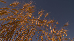HD2009-9-32-17 ripe wheat and blue sky Stock Video Footage