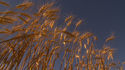 HD2009-9-32-17 ripe wheat and blue sky Footage