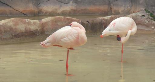 pink flamingo 4k 01 Footage
