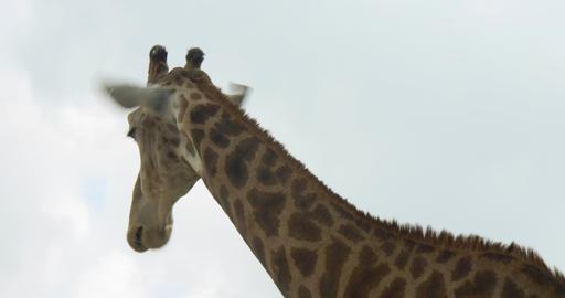 giraf 4k 01 Footage