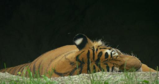 tiger 4k 01 Footage