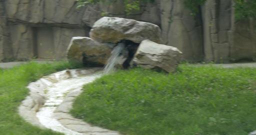 white tiger 4k 02 Footage