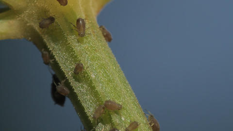 1080p, Macro Of Ants And Vine Lice On Leafs Footage