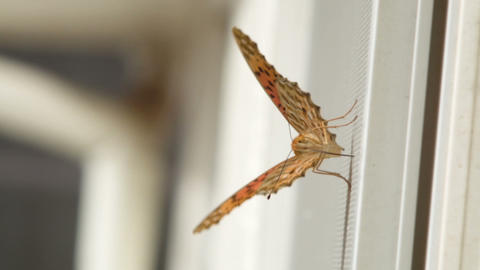 Butterfly On The Window stock footage