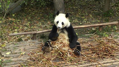 Panda in Chengdu Sichuan China 13 Footage