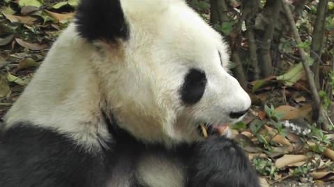 Panda in Chengdu Sichuan China 2 handheld Footage
