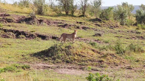 Cheetah standing on a hill and view the area in se Footage