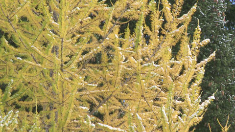 Snow on Autumn Larch Trees 02 Footage