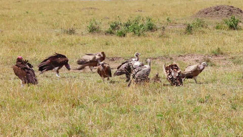 Vultures eating a wildebeest carcass Footage