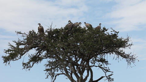 Vultures resting on the branches of a tree. Masai  Footage
