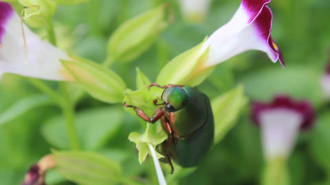 green beetle sitting on purple flower Footage