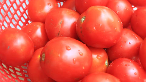 The red ripe tomatoes Live Action