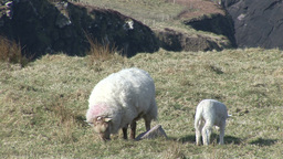 Lambs in Spring Footage