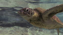 Underwater Turtle stock footage