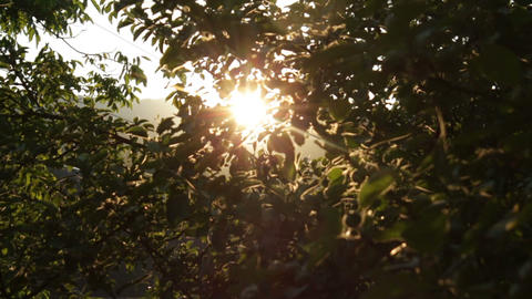 Apple Tree At Sunset Soft Dolly Movement HD stock footage