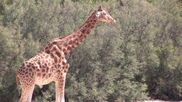 Tall Giraffe Footage
