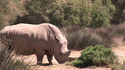 Rhino in the Wild Stock Video Footage