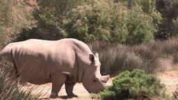 Rhino in the Wild Footage