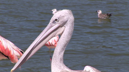 Close up of Pelicans Footage