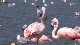 Flamingos and Pelicans Footage